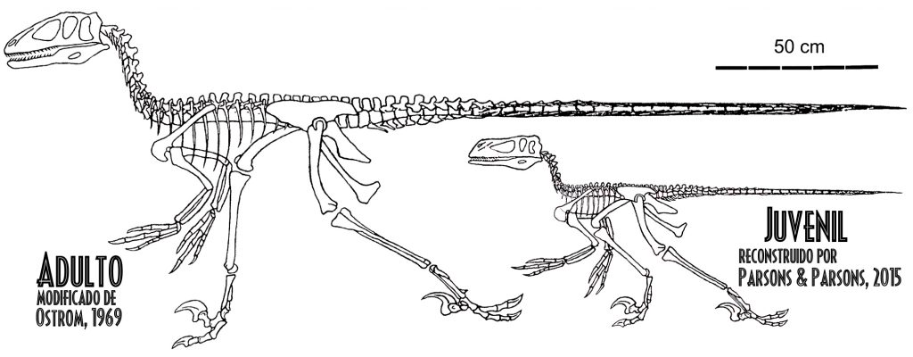 Morphological Variations within the Ontogeny of Deinonychus anti